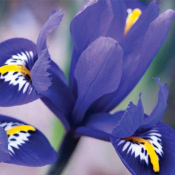 Iris reticulata Rhapsody ®