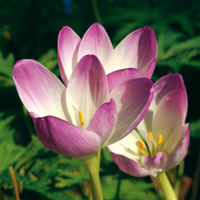Colchicum Rosy Wonder