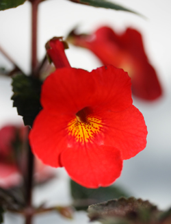 Achimenes Ruby Red