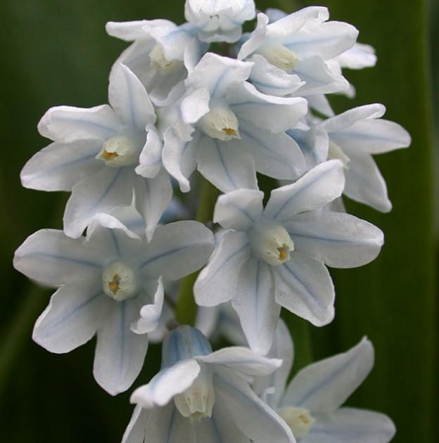 Puschkinia scilloides var libanotica (syn. Libanotica)