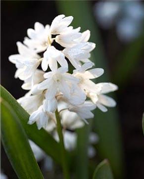 Puschkinia scilloides var libanotica alba