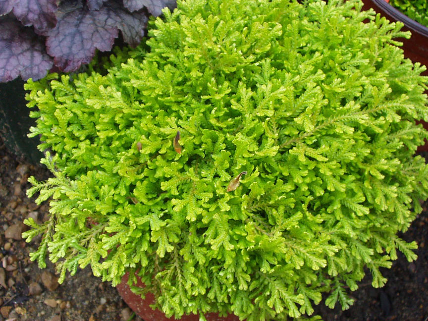 Selaginella lepidophylla, (syn. roos van Jericho)