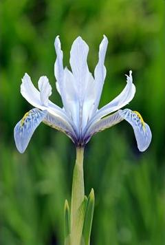 Iris Sheila Ann Germany