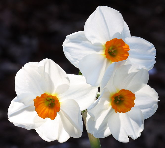 Narcissus tazetta Chinese Sacred Lily