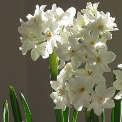 Narcissus tazetta Ziva
