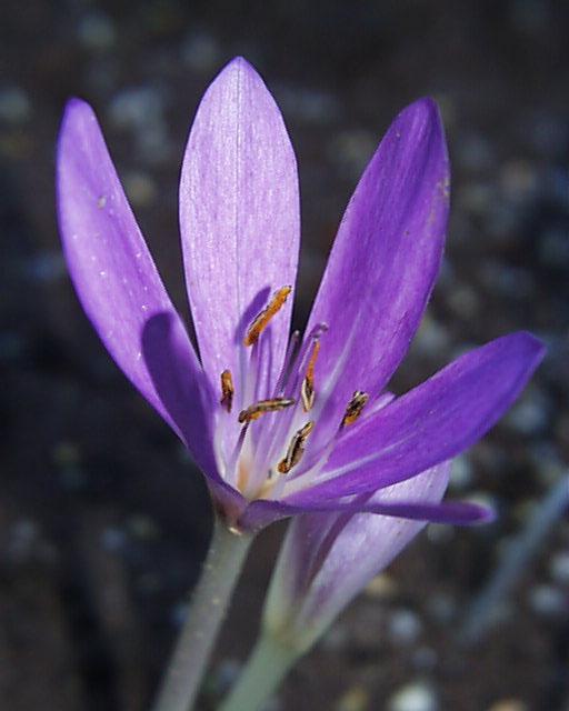 Colchicum tenorii