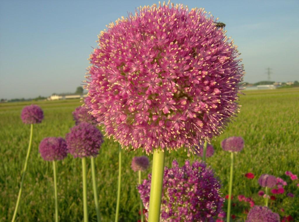 Allium giganteum Twinkel Star