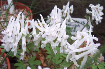 Corydalis solida White Swallow